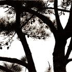 Pine Silhouette by NicoleMarie12