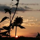 Sunflower at Sunset by Sjones