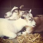 Goat Love by Sloan Satterlee