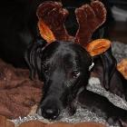 Odin the Rednose Reindeer by lavercam